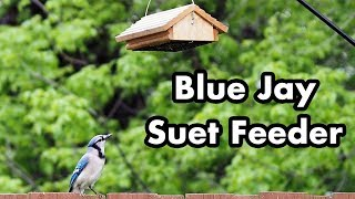 Blue Jay Grabs Suet From Upside Down Feeder