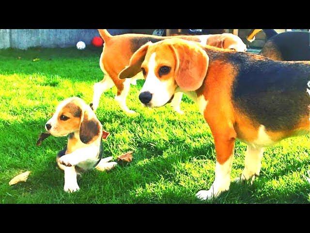 Download Super Cute Beagle Adorable Dog - sddefault  Photograph_1002523  .jpg?downsize\u003d715:*\u0026output-format\u003dauto\u0026output-quality\u003dauto