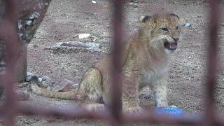 В Перми появился свой король-лев