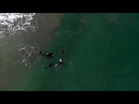 Swimmer who swam with orca off Coromandel beach describes 'life-changing experience'