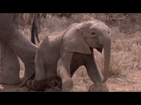 Download Elephant Calf Starves To Death Due To Drought | Africa | BBC HD Mp4 3GP Video and MP3