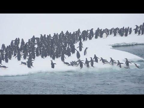 Наконец-то дома! Много, очень много пингвинов выпрыгивают из океана