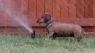 Dachshund Attacks Sprinkler Head