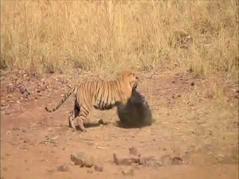 Sloth bear fights back young tiger to save her cub