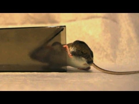 """MiceCube"" Live Mouse Trap in Action - Full Review"