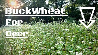 Buckwheat Food Plots For Deer - Helps To Build Organic Matter EP 6