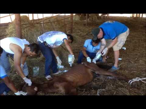 เนื้อวัวที่ส่งผ่านทางพยาธิ