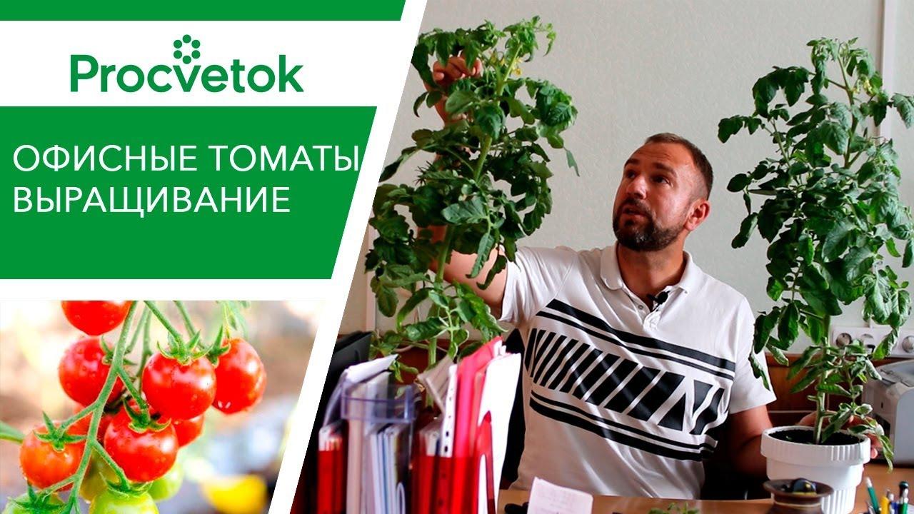 Выращивание томатов в горшке в офисе, на балконе