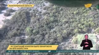 49 плантаций конопли было обнаружено в Южно-Казахстанской области