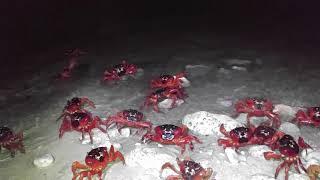 Christmas Island Red Crab Eating Babies Kênh Video Giải Trí Dành
