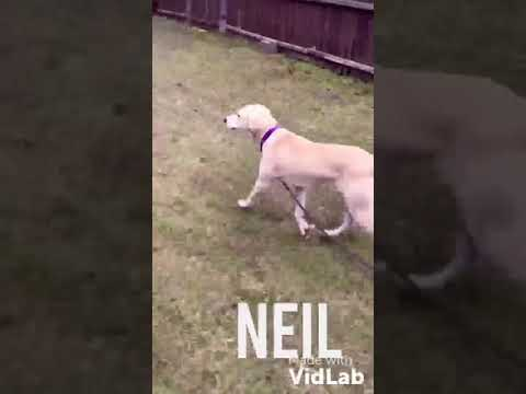 Neil, an adopted Labrador Retriever Mix in Danbury, CT