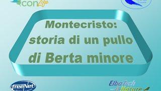 A Montecristo sono tornate le berte minori