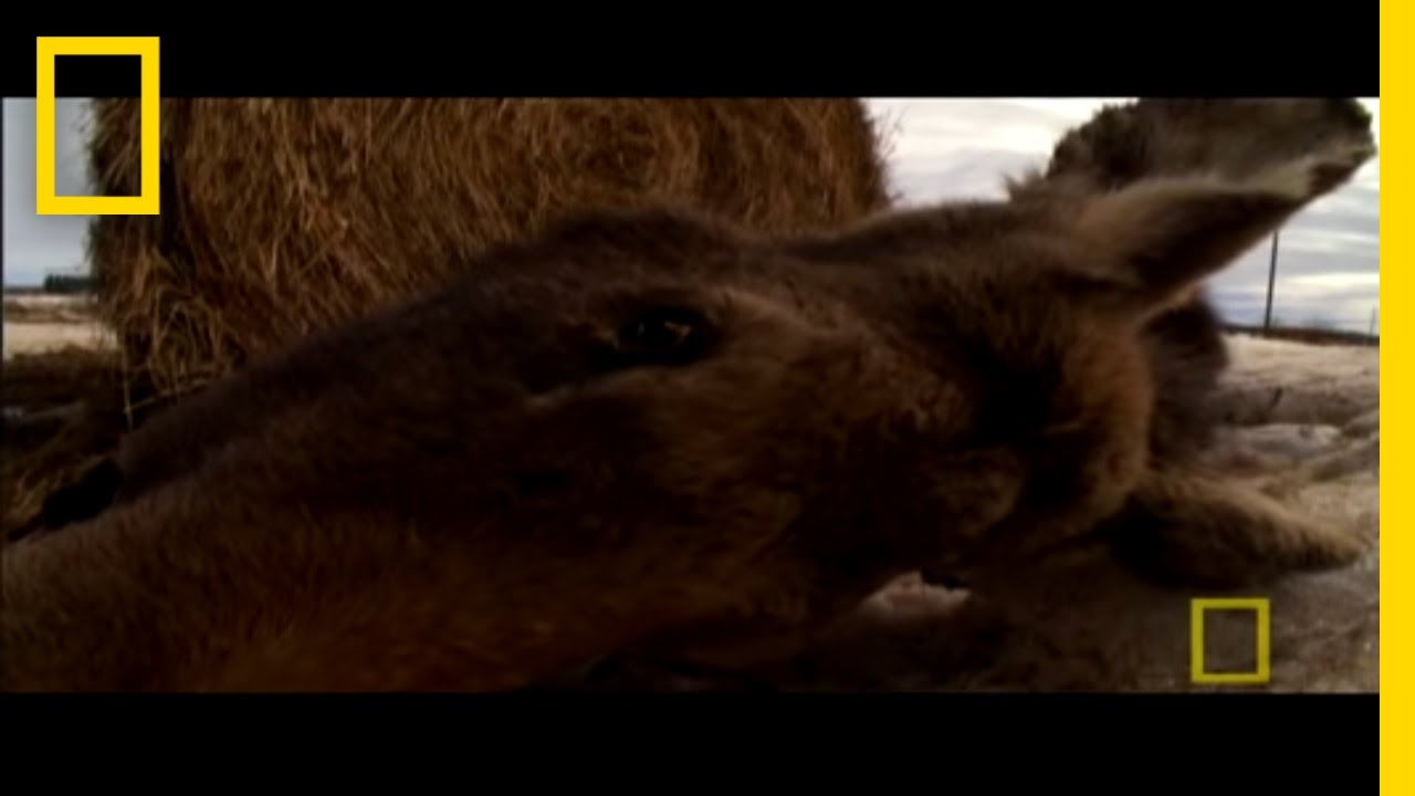 Ticks Can Kill Moose? | National Geographic thumbnail