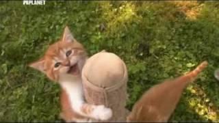 британские кошки, Введение в кошковедение. Шотландская вислоухая