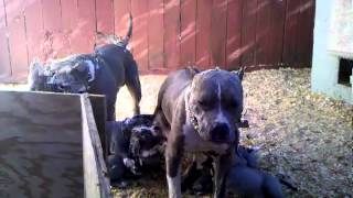 Xl bullys pupps
