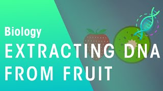 How DNA can be extracted from fruit | Biology for All | FuseSchool