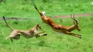 Triumph of the Herbivores | Prey Escapes Predator | Life of Mammals | BBC Earth