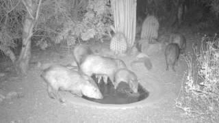 Wildlife at a Sonoran desert water hole   Kholo.pk