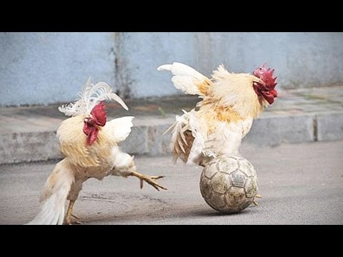 Funny Chickens 2017 🐔 [Funny Pets]