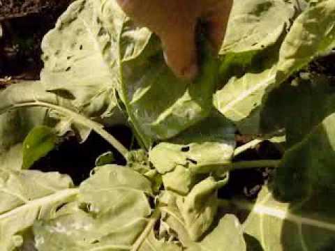 Как избавиться от белых мошек на капусте?