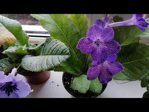 # Комнатные растения. Мой маленький цветочный оазис. Бегония, колумнея, стрептокарпусы....