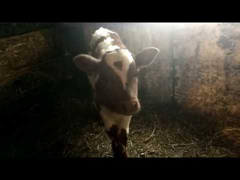 Новорожденный теленок.Как и чем мы его кормим.