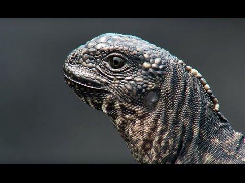 סרטוני טבע של ה-BBC: איגואנה