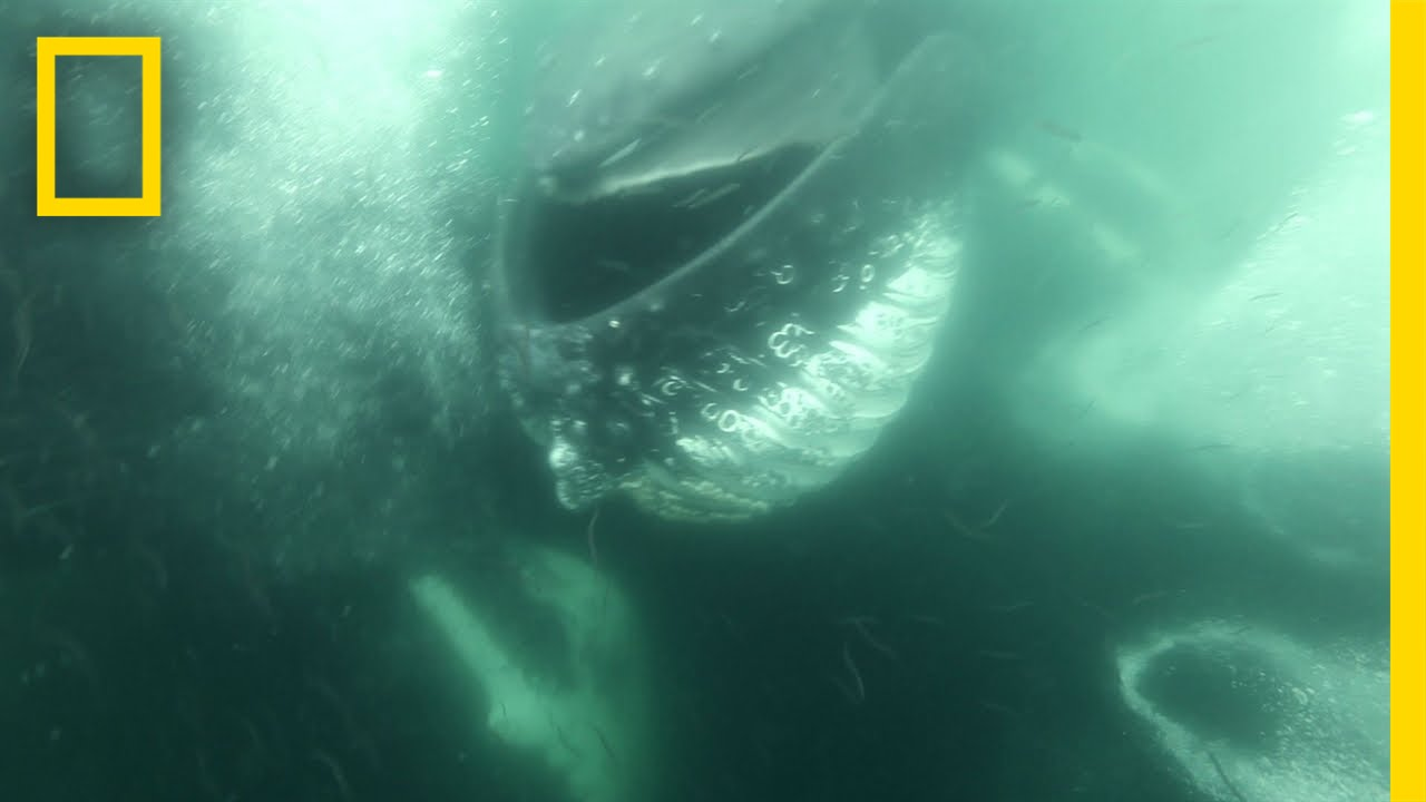Dodging Whales | National Geographic thumbnail