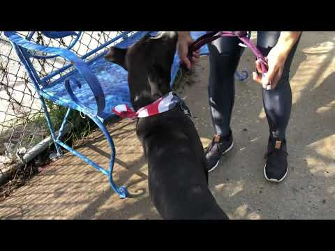 Rascal, an adopted American Staffordshire Terrier & Labrador Retriever Mix in Long Beach, NY