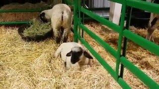 Arizona State Fair 2015 - Farm Animals (Phoenix, Arizona)