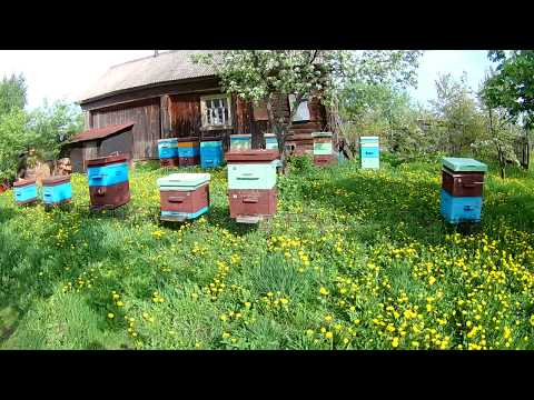 Цветущий май на пасеке