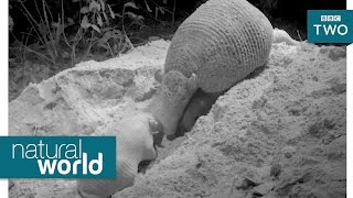 World first: Giant armadillo baby filmed leaving burrow - Natural World: Hotel Armadillo - BBC Two