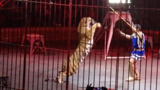 Тигр наскакивает на дрессировщика