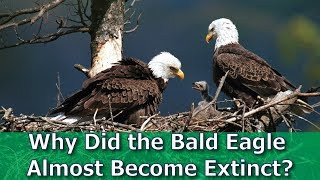 Why Did the Bald Eagle Almost Become Extinct?