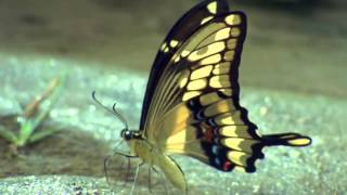 Andy Williams :::: Butterfly.