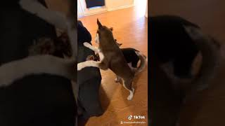 Siberian Husky Puppies Videos
