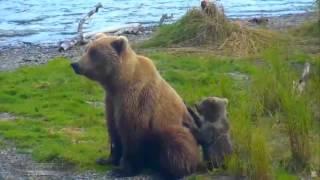 Медведица защищает детёныша от жестоких самцов и одновременно ловит рыбу на Brooks River Аляска 2015