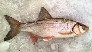 За язём - 2018 / Зимняя рыбалка на язя / Язь / Обь