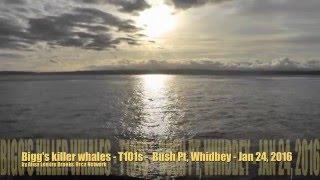 Bigg's killer whales T101s - Bush Point, Whidbey Isl - Jan 24, 2016