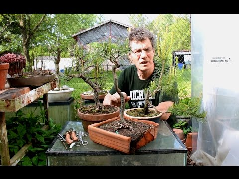 Candle Pinching Strategies for Scots Pine Bonsai, May 2016