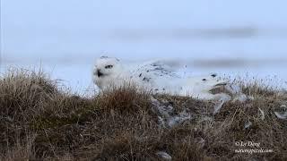Snowy Owl nest footage