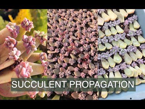 Succulent Propagating From Leaves| Thành quả nhân giống sen đá từ lá| 多肉植物