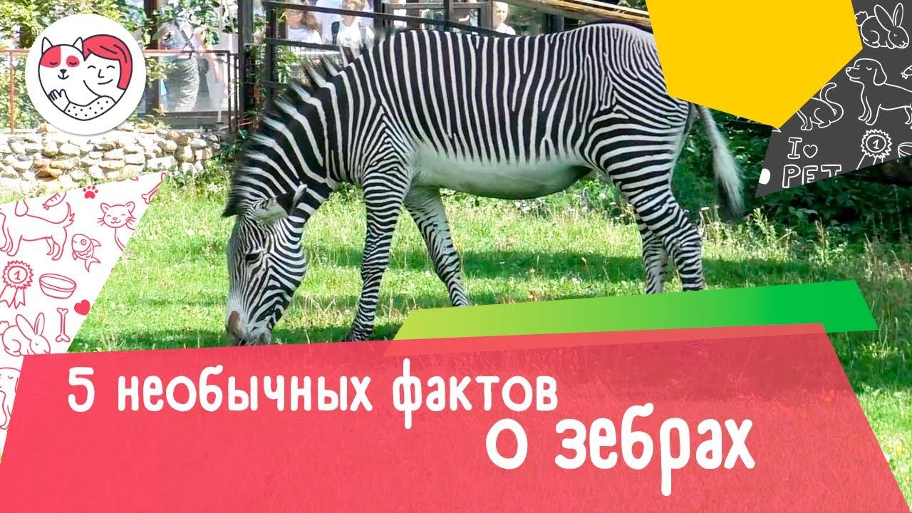 5 необычных фактов о зебрах