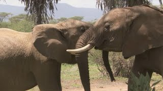 Elephant Calf Jealous Of Younger Sister | Secret Life Of Elephants | BBC Earth