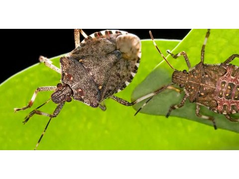 How to Get Rid of Stink Bugs   Pest Control