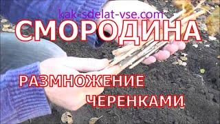 Размножение смородины черенками осенью видео