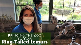 Bringing the Zoo to You: Ring-Tailed Lemurs