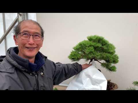 Bonsai Made Easy - How to make a bonsai from a Pine