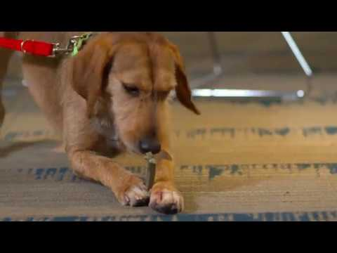Greenies Original Dental Chew Dog Treats - Teenie 27oz (96 Bones) Video