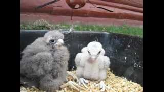 Feeding Baby Falcons